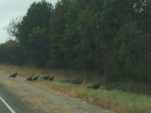 These are some brave turkeys to cross in front of me the week before Thanksgiving!