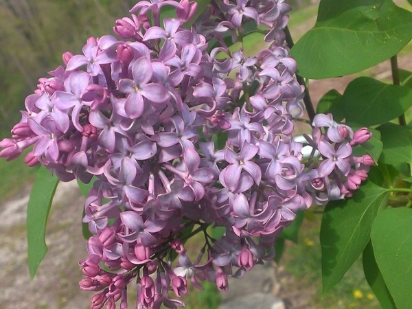 Lilacs have bloomed! Spring is here. Enjoying a beautiful Sunday