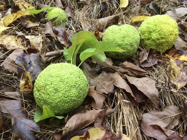 Fallen hedge apples