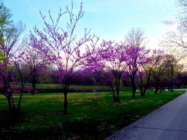 Redbuds are in full bloom in April