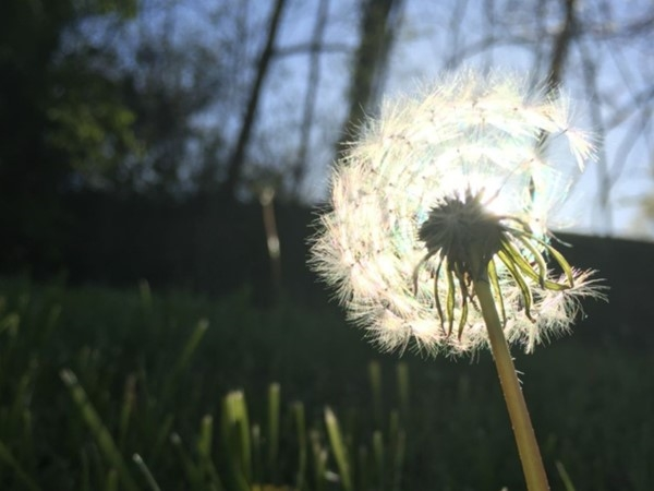 Whether they're weeds or wishes, dandelions are common on mid Missouri lawns during the summer!