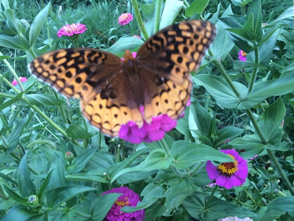 Butterfly spreading its wings on a zinnia