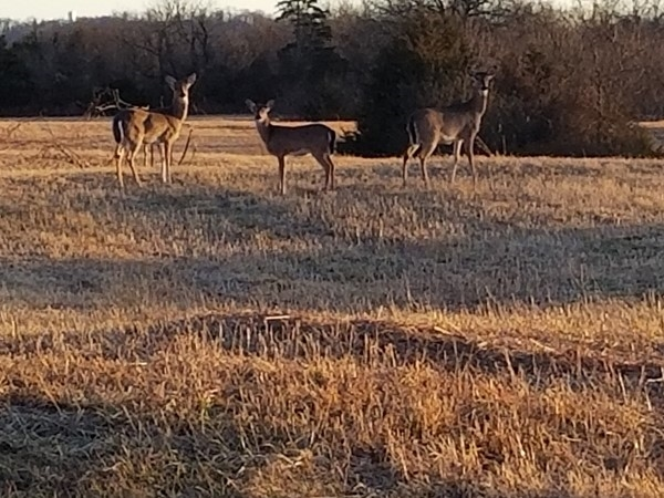 Deer galore