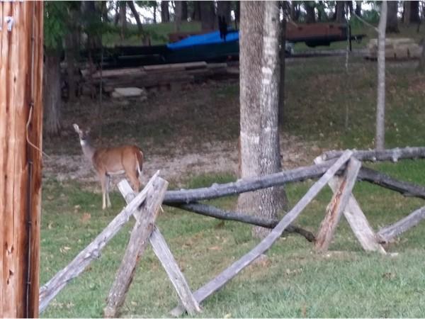 Deer in the yard in Golden
