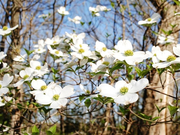 The dogwood blossoms have been lush this year at Horizon Hills