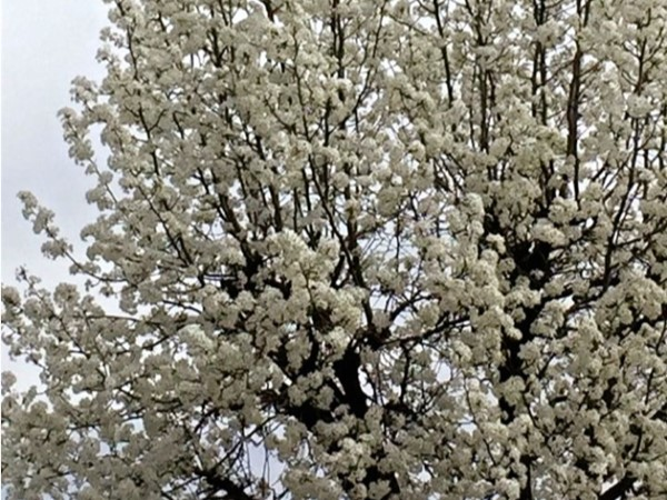 Trees blossom around Jefferson City to welcome spring to our small town