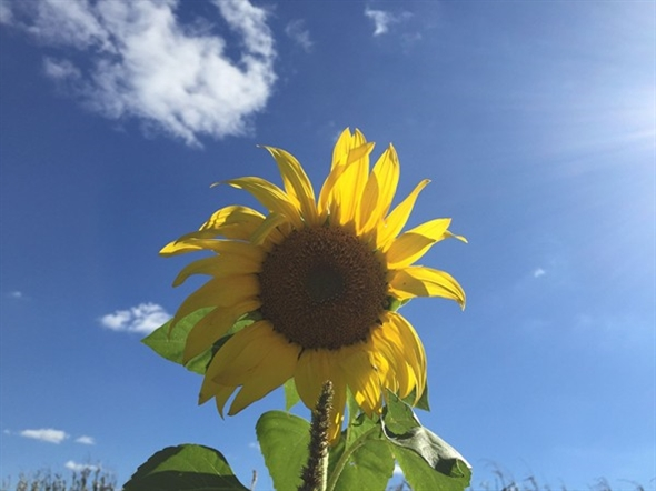 The blooming sunflower field just outside of Jefferson City attracted many visitors over the summer