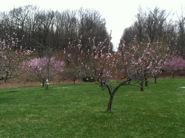 Home orchard in bloom in southeast Christian County. Springtime in the Ozarks!