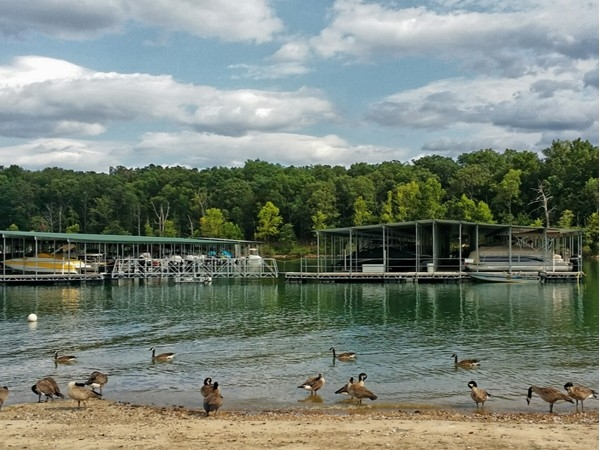 Wildlife visiting Campbell Point Marina on Table Rock Lake