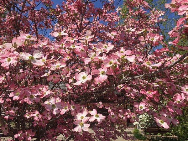 Gorgeous Missouri dogwood tree in bloom on a beautiful spring day