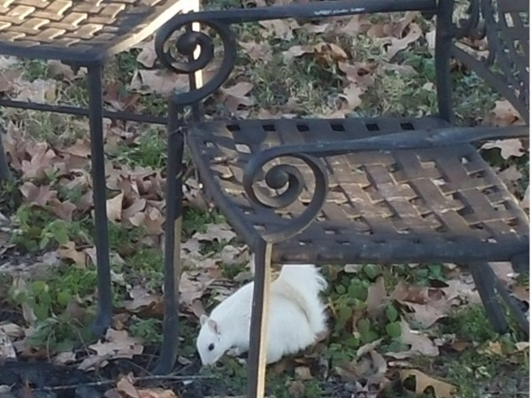 White squirrels are rare in our area but I had one in my backyard today