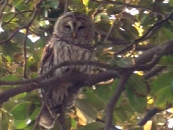 Beautiful owl in University Heights neighborhood!