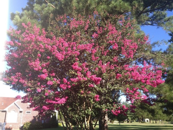 Crepe Myrtle capital of the south
