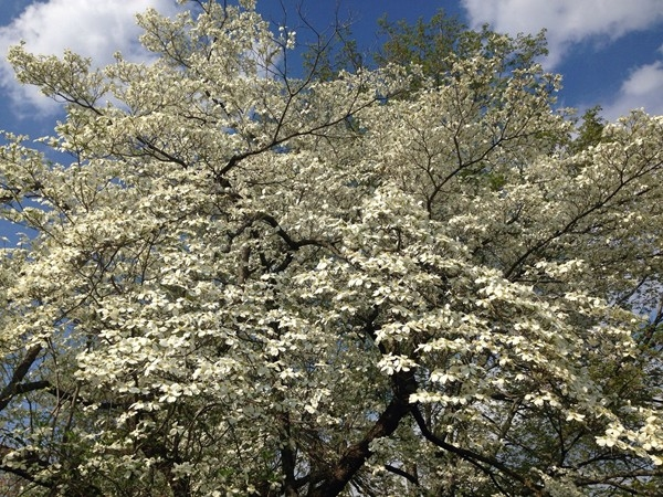 A dogwood tree in spring bloom!