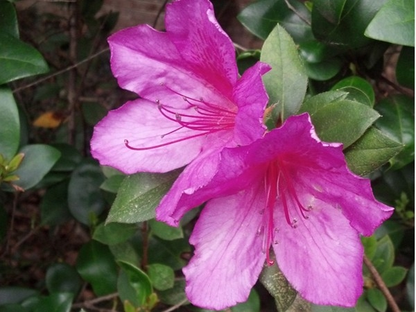 First blooms soon to become the Azalea Trail