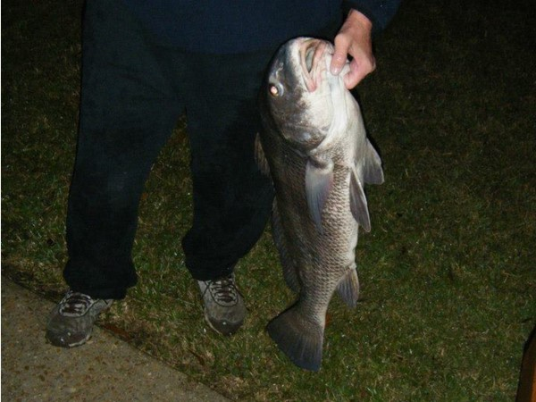 Caught right out of Dog River. Used a 10lb test line rod and reel. What a challenge