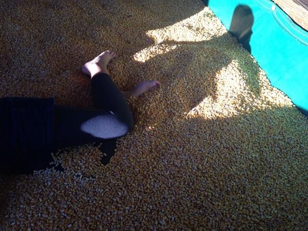 Tate Farm Corn Pit Near Mullins Bend Community