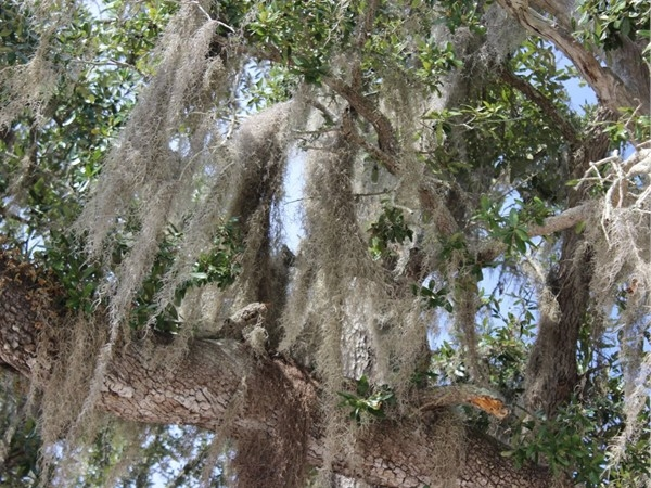 Nothing more beautiful than Spanish moss decorating a tree