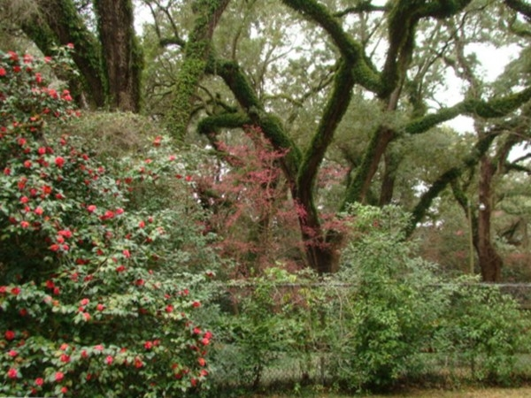 Camellias, cherry trees and glorious oaks extend the welcome to Augusta Evans.