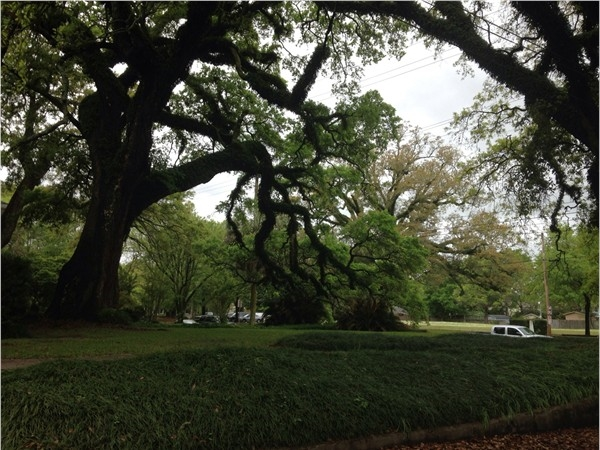 Beautiful old oaks line the streets!