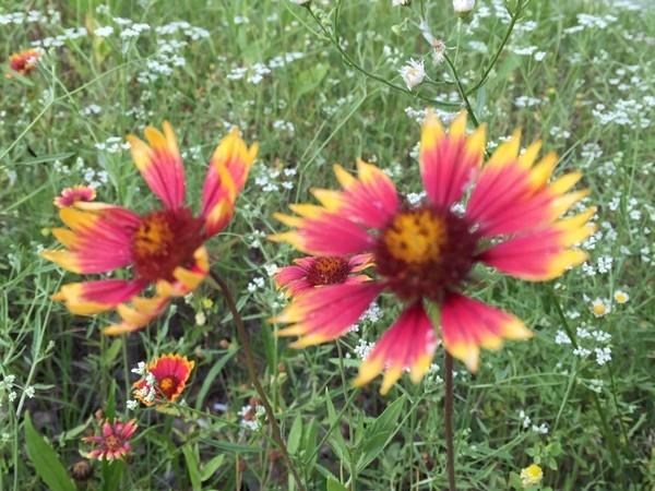 Wildflowers around Mt Laurel