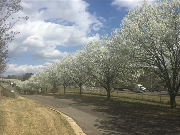Cherry Trees blooming on Grantswood Road