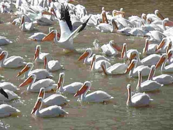Pelicans at Logan Martin Lake