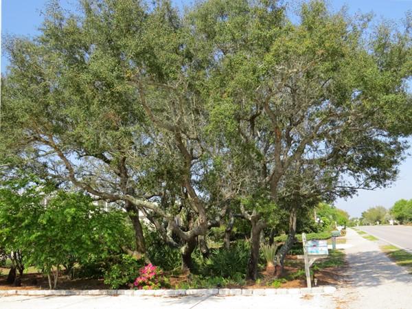 Ono Island ancient oaks