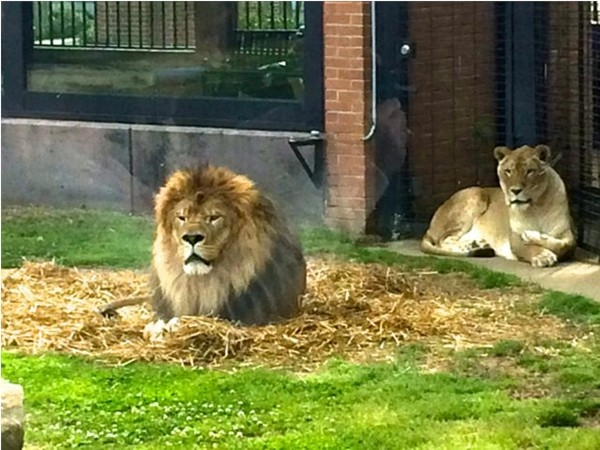 UNA mascots, Leo and Una thrill visitors of all ages at the George H Carroll Lion Habitat on campus.