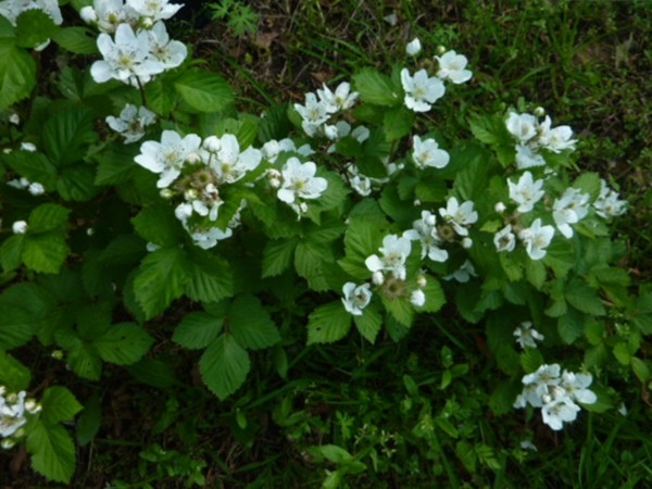 Blackberries are blooming in Decatur. We call this time of year blackberry winter