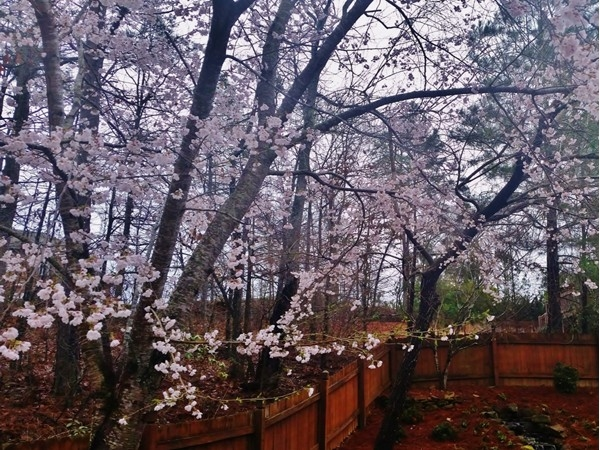 You know it is spring time in Highland Lakes when the cherry trees start blooming