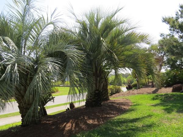 Ono Island palms