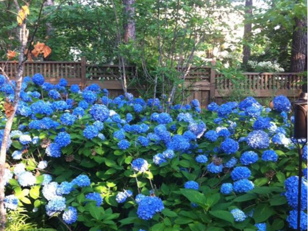 A view of Mt Laurel; beautiful flowers like these hydrangeas bloom throughout the neighborhood