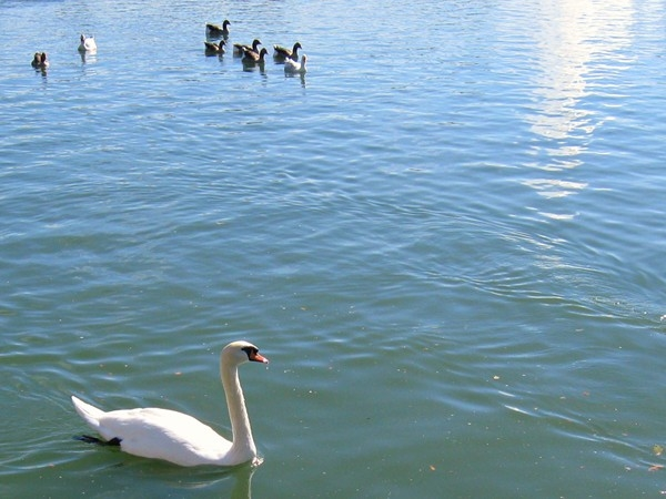 Swan, ducks and geese are ready to be fed at Heartland of America Park