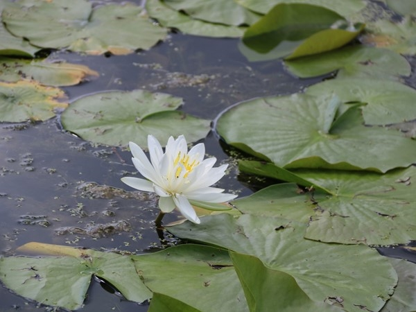 Lily pad season at George Wyth State Park