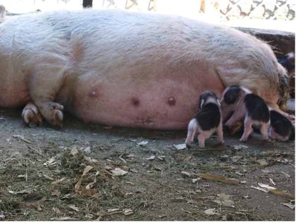You can see five baby piglets born last night and this morning at the free Sunrise Children's Zoo