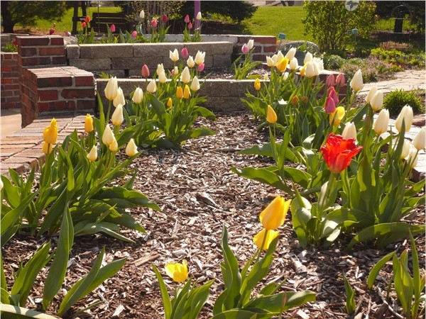 Tulips blooming at the Enabling Gardens of Altoona