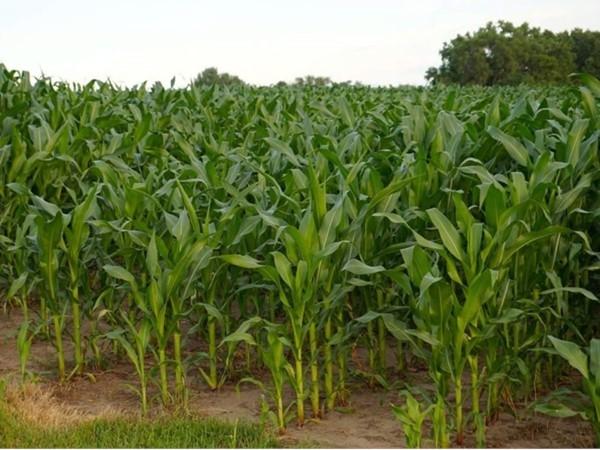 Good soil + experienced farmers = Bumper Crops in Black Hawk County