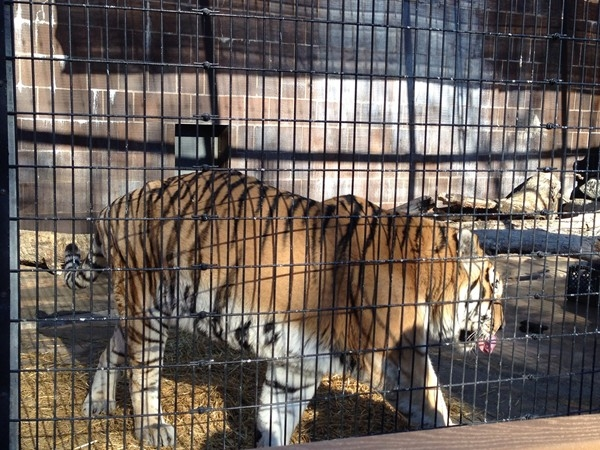 It's feeding time for the Siberian tiger at the Henry Doorly Zoo
