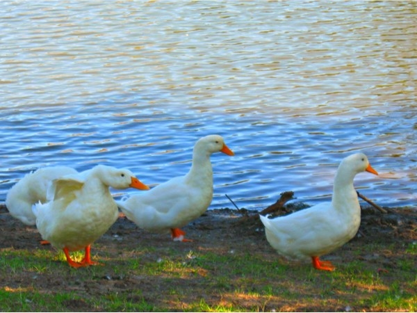 The ducks in Benson Park love day old bread
