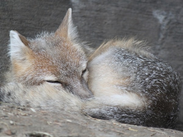 Nestled in for a cozy little nap...at Henry Doorly Zoo.