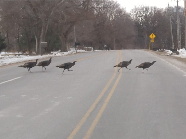 Wild Turkey crossing! Not an unusual sight on Skyline Drive in Elkhorn