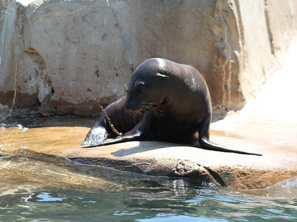Adorable sea lion at Henry Doorly Zoo catching some rays