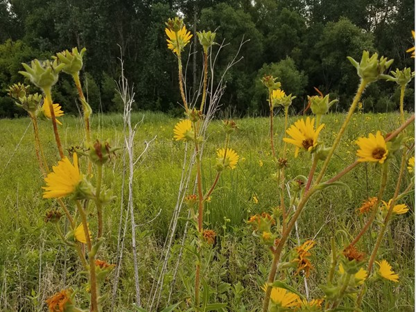 Wild flowers abound at Big Woods Lake. The prairie is full of many species of flowers and prairie gr