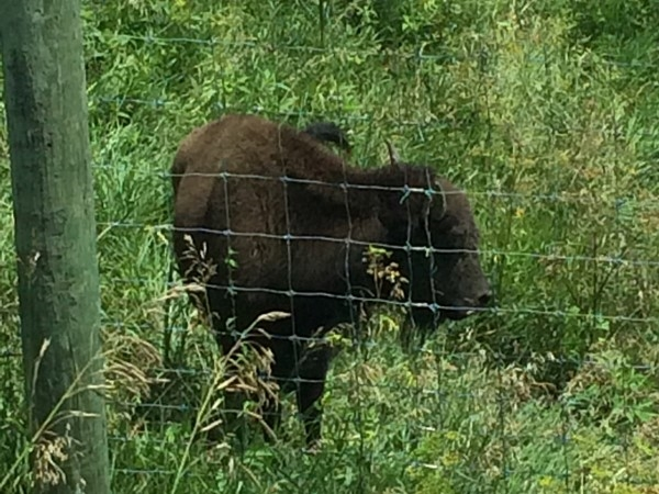 See baby Bison on the tour through Neal Smith National Wildlife Refuge - Prairie City