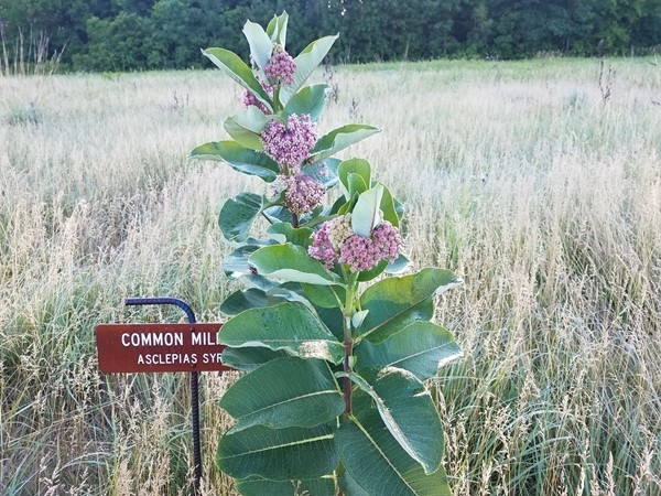 Bring on the monarchs. The milkweed is doing great and ready for the butterflies arrival