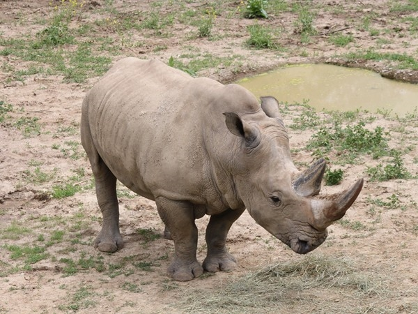 A cute little rhino at the Henry Doorly Zoo.