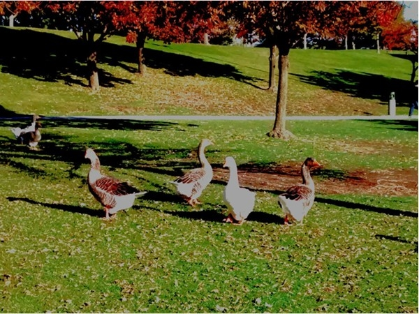 A hungry gaggle begging for scraps at Heartland of America Park