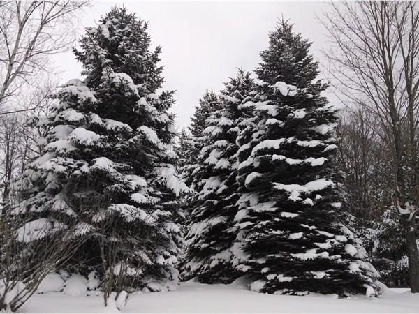 Cedar in December