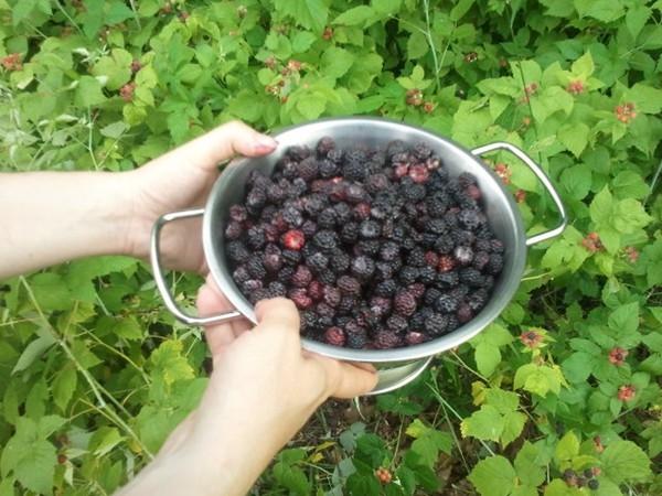 Every July, neighbors can been seen picking blackberries along Nolen Dr. in Mott Park